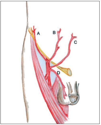 Blood supply of inguinal skin. A) Superficial circumflex iliac